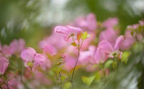Picture leaves, flowers, branches, Bush, blur, spring, pink, flowering, bokeh, dogwood