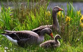 Picture greens, summer, grass, birds, shore, spring, baby, family, three, walk, grey, trio, mom, chick, pond, …