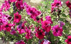 Picture flowers, bright, Sunny, flowerbed, Petunia, petunias, Mamala ©, summer 2018