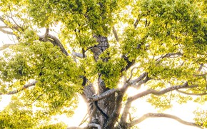 Picture branches, nature, tree, sunlight, crown