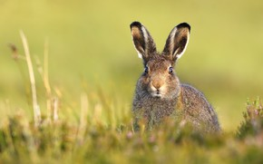 Picture summer, nature, hare