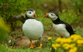 Picture birds, nature, pair, two, Atlantic puffin, stubs