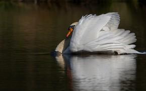 Picture white, reflection, background, bird, Swan, pond