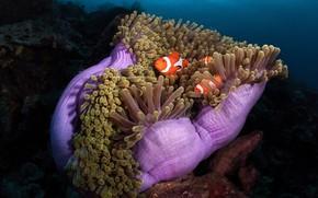 Picture sea, fish, the ocean, fish, under water, sea anemones, coral polyps, sea anemones, Clown fish, …