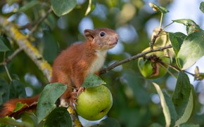 Picture leaves, branches, nature, tree, animal, apples, protein, cub, Apple, animal, rodent, squirrel
