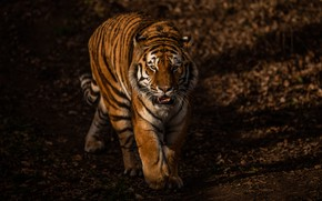 Picture look, face, light, nature, tiger, the dark background, walk, wild cat, handsome