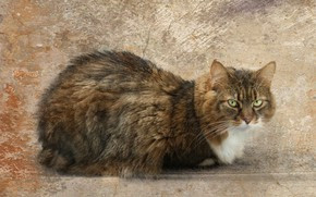 Picture cat, cat, look, face, pose, grey, background, fluffy, striped, green-eyed