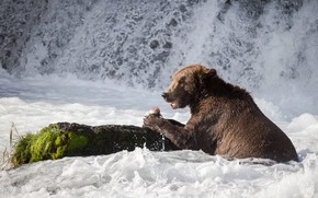Picture look, face, nature, pose, river, stones, for, waterfall, moss, food, stream, fish, bear, bathing, hunting, …