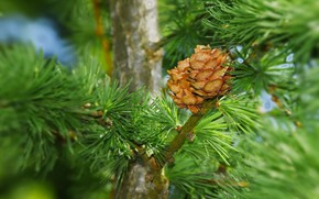Picture nature, spring, larch