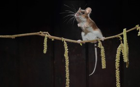 Picture branch, mouse, earrings