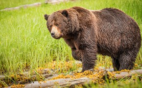 Picture greens, summer, grass, look, face, pose, glade, paws, bear, bear, logs, brown, chubby