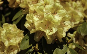 Picture yellow, rhododendron, Azalea