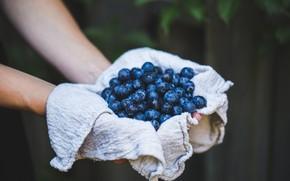 Picture berries, the dark background, hands, harvest, blueberries, rag