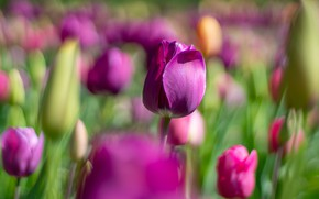 Picture flowers, spring, purple, tulips, lilac, bokeh, blurred background