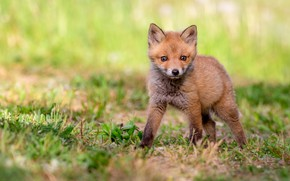 Picture grass, look, face, pose, baby, Fox, is, Fox, Fox