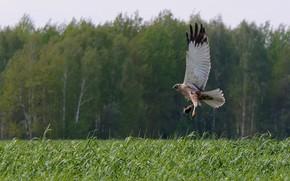 Picture field, bird, predator, держит жертву