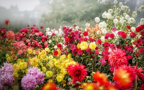 Picture summer, flowers, bright, yellow, garden, red, white, a lot, different, dahlias