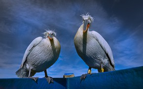 Picture the sky, birds, blue, pair, two, pelicans, Pelican, two birds