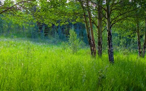 Picture greens, forest, summer, grass, trees, branches, glade, foliage, aspen