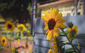 Picture flower, summer, light, sunflowers, flowers, yellow, house, sunflower, yellow, garden, bokeh