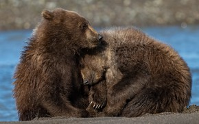 Picture nature, river, bears
