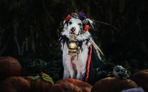 Picture autumn, flowers, the dark background, holiday, dog, harvest, costume, lantern, pumpkin, skull, Cape, Halloween, Australian …