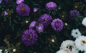 Picture leaves, flowers, the dark background, garden, purple, white, lilac, autumn, asters, Terry