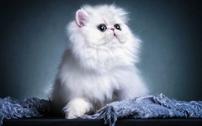 Picture cat, look, kitty, face, Persian, extreme, photoart
