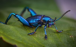 Picture macro, blue, leaf, beetle, insect