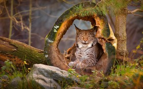 Picture forest, grass, look, face, nature, pose, tree, stone, stump, hole, lies, log, beauty, lynx, needles, …