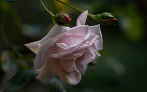Picture mood, rose, Bud