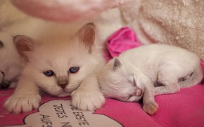 Picture look, pose, comfort, kitty, background, the inscription, stay, pink, together, sleep, muzzle, pair, sleeping, kittens, …