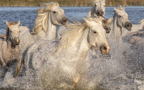 Picture animals, water, squirt, nature, horses, horse