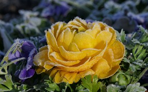 Picture frost, flower, yellow, petals, flowerbed, Ranunculus, frost