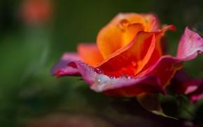 Picture flower, drops, flowers, green, background, rose, orange, blur, Bud, fire