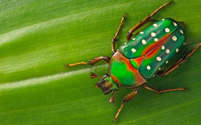 Picture macro, green, background, leaf, beetle, insect, speckled