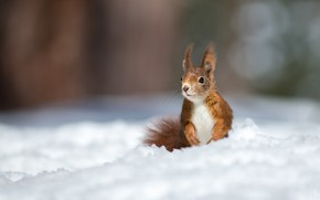Picture winter, snow, protein, red, bokeh, rodent, pet