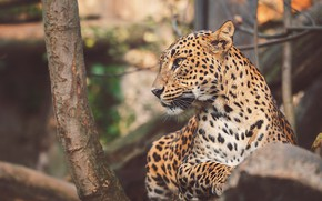 Picture look, face, branches, tree, portrait, leopard, profile