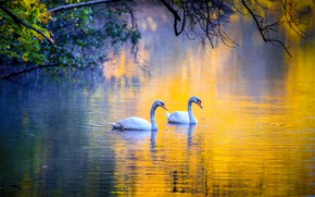 Picture on the lake, tree branches, pair of swans