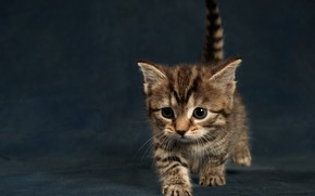 Picture cat, kitty, background, small, kitty, ponytail