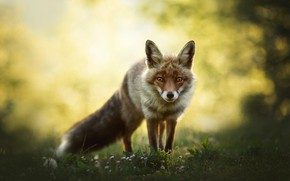 Picture look, nature, background, Fox, bokeh