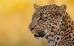 Picture face, background, portrait, leopard, wild cat