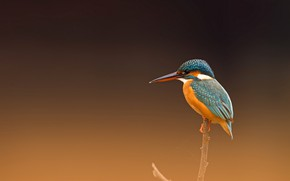 Picture nature, bird, Common Kingfisher
