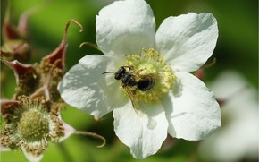 Picture flower, bee, flower, bee