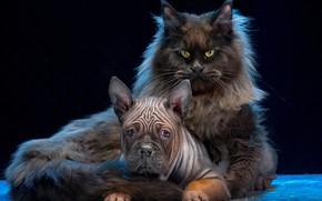 Picture cat, dog, Kote, the dark background, Maine Coon, Chongqing, Igor Perfilyev, Chinese bulldog