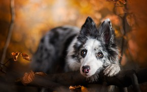 Picture autumn, look, face, leaves, branches, nature, pose, portrait, dog, branch, puppy, bokeh, the border collie, …