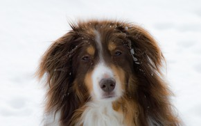 Picture winter, face, snow, portrait, dog, the snow, red, everyday, Aussie