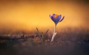 Picture background, Krokus, saffron