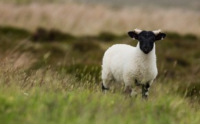 Picture field, white, grass, nature, background, black and white, pasture, cute, RAM, lamb, sheep, breed, sheep, ...