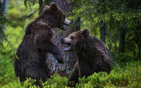 Picture forest, bears, two bears